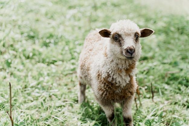 Zbliżenie śmieszne owiec na zielonym polu