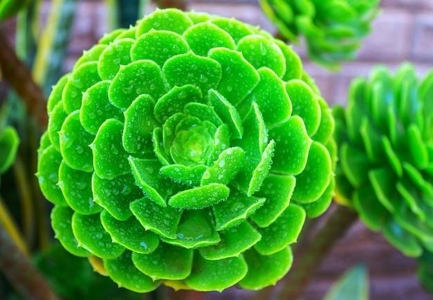 Zbliżenie soczysta zielona roślina kaktus. echeveria
