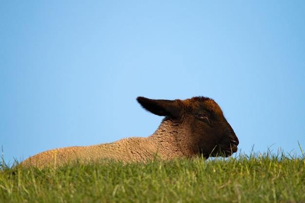 Zbliżenie śpiącej kozy na trawie pod błękitnym niebem