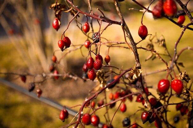 Zbliżenie stonowanych zdjęcie jagód berberysu rosnących na buszu