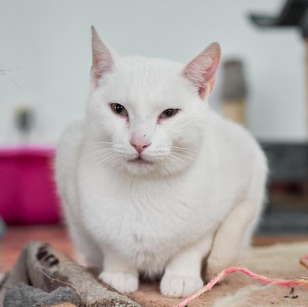 Zbliżenie strzał białego kota siedzącego na szmatce w domu