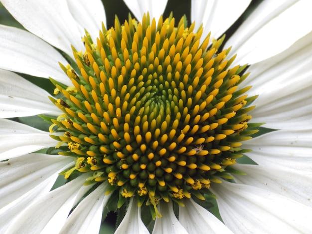 Zbliżenie strzał białego kwiatu chryzanty
