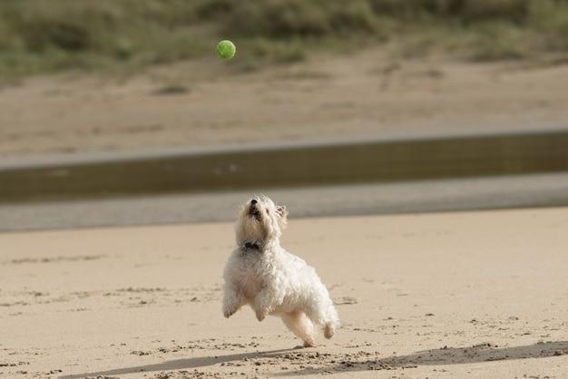 Zbliżenie strzał białego psa grającego na piaszczystym brzegu