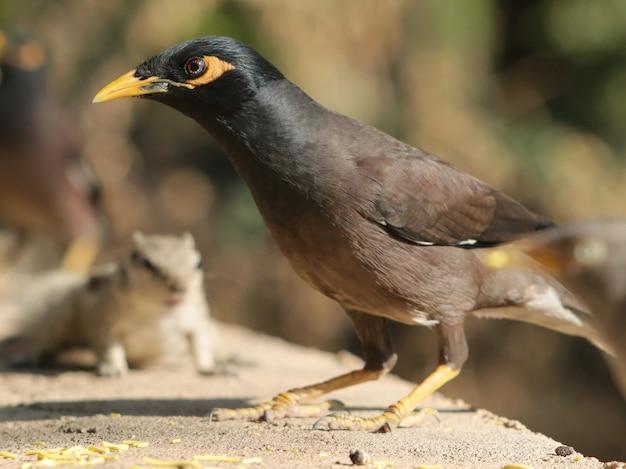 Zbliżenie strzał czarnego ptaka myna na kamieniu