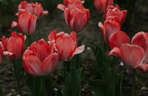 Zbliżenie strzał czerwoni tulipanowi kwiaty