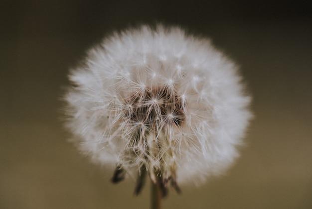 Zbliżenie strzał dandelion w polu