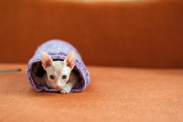 Zbliżenie strzał domowego kota sfinksa