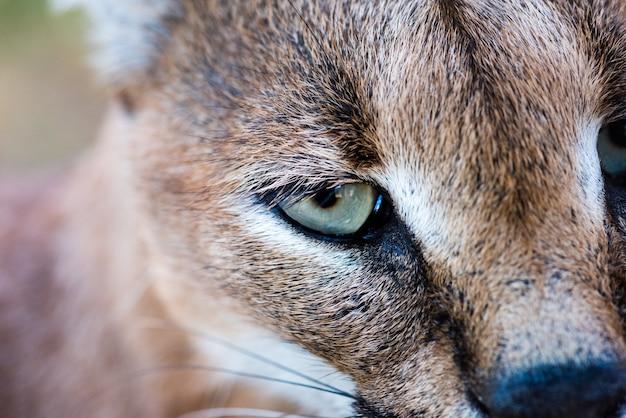 Zbliżenie strzał dzikiego karakal z zielonymi oczami
