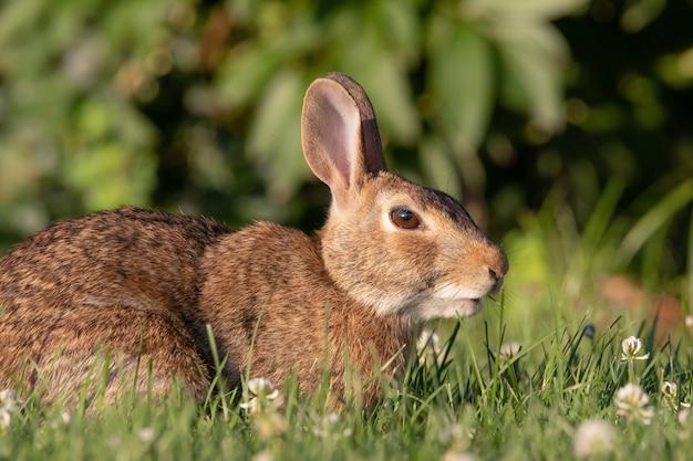 Zbliżenie strzał dzikiego królika w trawie trawnika