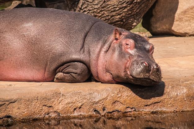 Zbliżenie strzał hipopotama leżącego na ziemi