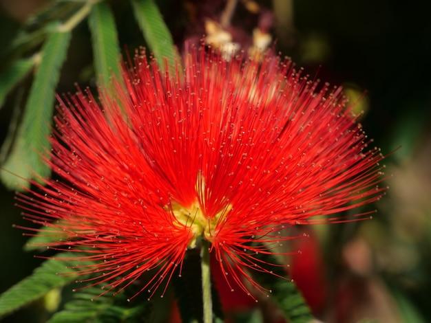 Zbliżenie strzał jasny czerwony kwiat calliandra