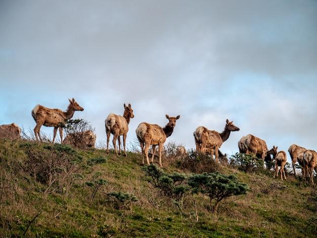 Zbliżenie strzał jeleni na trawiastym wzgórzu pod zachmurzonym niebem