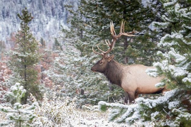Zbliżenie strzał jelenia wapiti w lesie