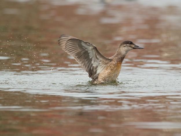 Zbliżenie strzał kaczki na jeziorze