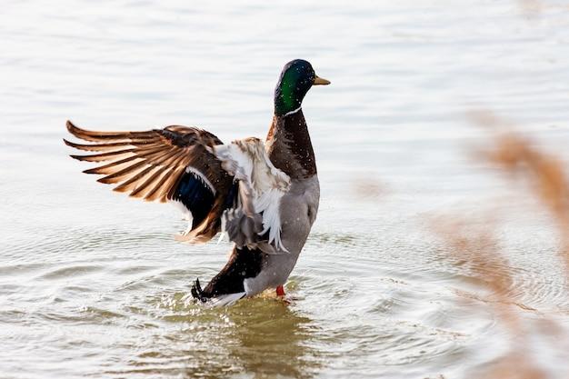Zbliżenie strzał kaczki stojącej w wodzie