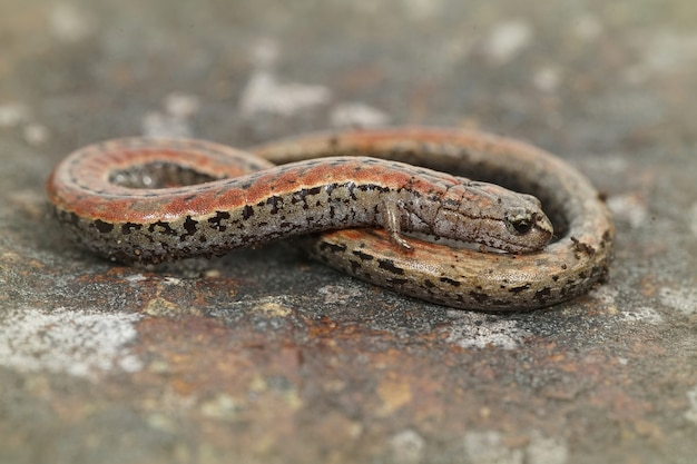 Zbliżenie strzał kalifornijskiej smukłej salamandry między rozmytym tłem