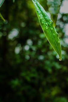 Zbliżenie strzał kropelek rosy na zielonych liściach
