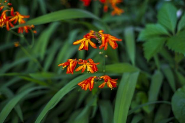 Zbliżenie strzał kwitnących kwiatów coppertips w zieleni