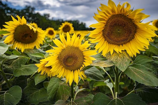 Zbliżenie strzał kwitnących słoneczników w polu