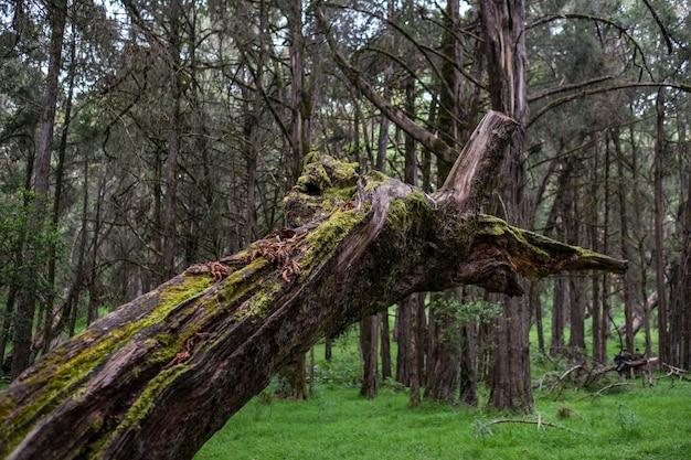 Zbliżenie strzał łamany mech zakrywał drzewa po środku dżungli chwytającej w górze kenja