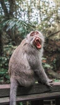 Zbliżenie strzał makak na drewnianej półce z rozpieczętowanym usta i zamazany naturalny