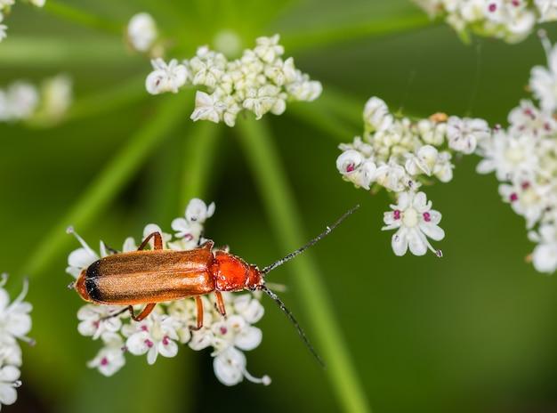 Zbliżenie strzał makro czerwonego żołnierza chrząszcza
