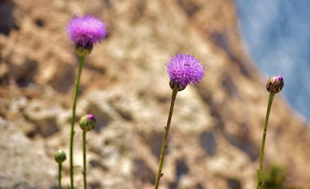 Zbliżenie strzał maltańskich centaurów kwiatów