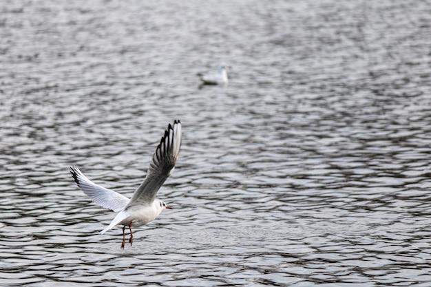 Zbliżenie strzał mewy lecącej nad jeziorem, szykując się do lądowania do pływania