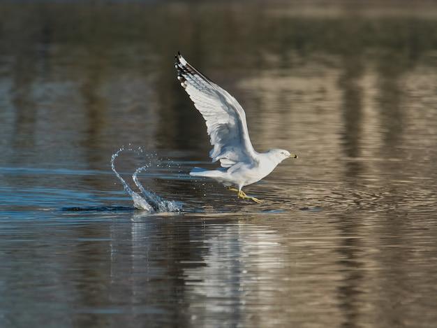 Zbliżenie strzał mewy nad jeziorem