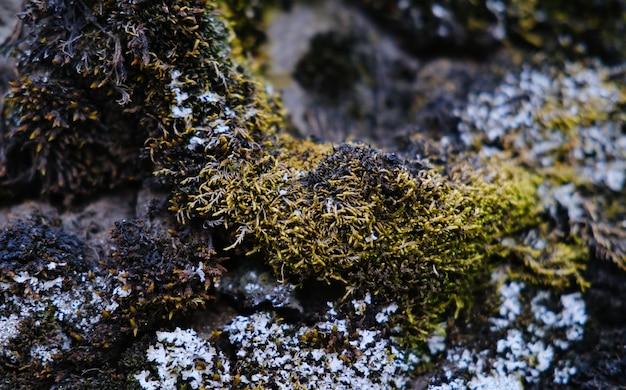 Zbliżenie strzał mokrego zielonego mchu rosnącego na kamieniu