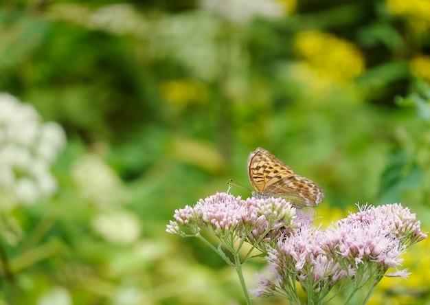 Zbliżenie strzał motyla na fioletowych kwiatach boneset w ogrodzie