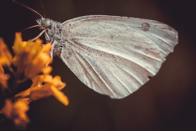 Zbliżenie strzał motyla na żółtym kwiecie