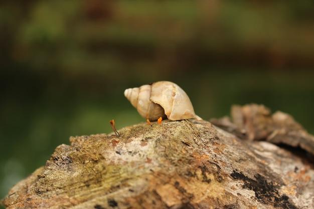 Zbliżenie strzał muszli ślimaka drzewa na drewnianej powierzchni