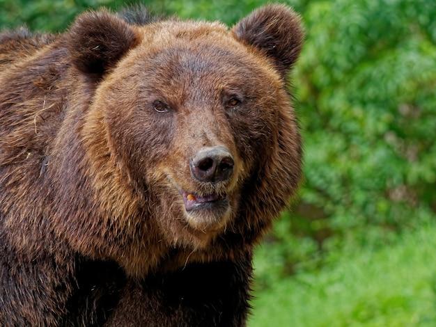 Zbliżenie strzał niedźwiedzia brunatnego w lesie