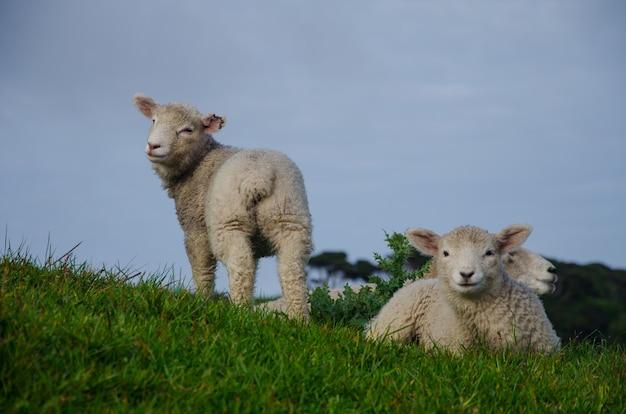 Zbliżenie strzał owiec na użytkach zielonych