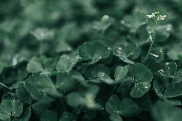 Zbliżenie strzał piękne zielone liście w lesie z poranną rosą na nich po deszczu
