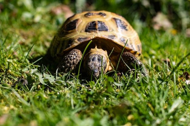 Zbliżenie strzał pięknego żółwia chodzącego po pokrytej trawą ziemi