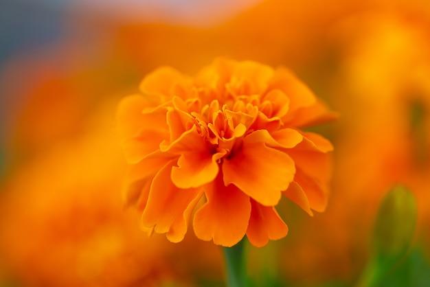 Zbliżenie strzał piękny kwitnący pomarańczowy kwiat z naturą