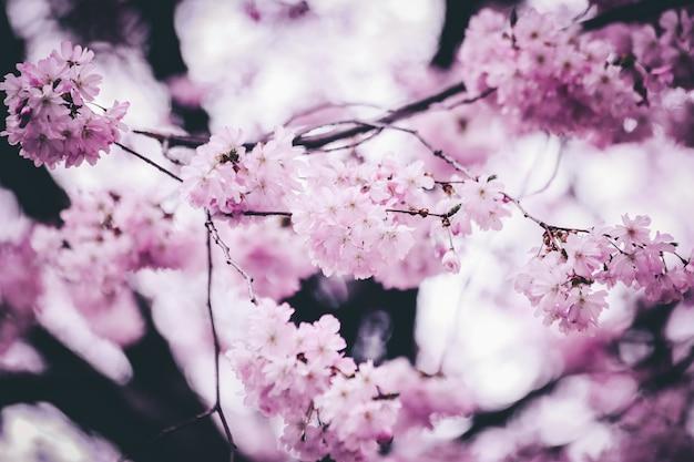 Zbliżenie strzał piękny różowy czereśniowy okwitnięcie kwitnie z zamazanym tłem