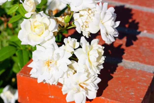 Zbliżenie strzał pięknych róż w świetle słonecznym