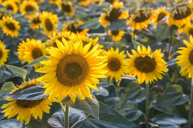 Zbliżenie strzał pięknych słoneczników w polu