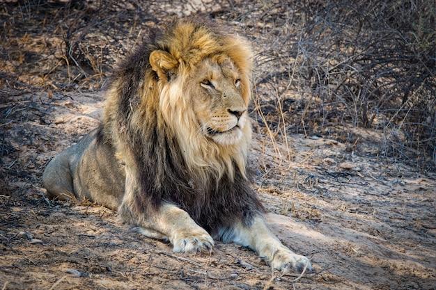 Zbliżenie strzał potężnego lwa leżącego na ziemi