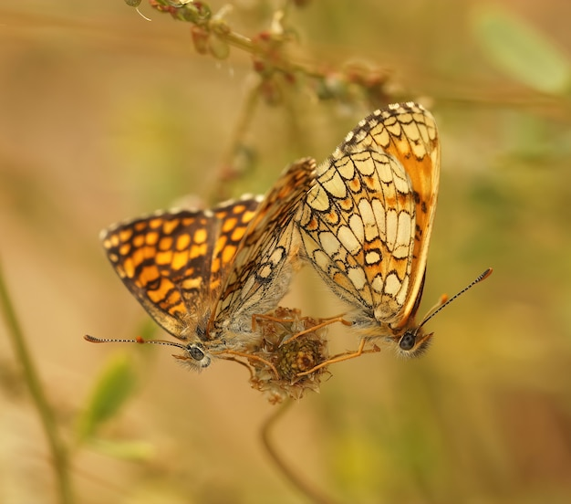 Zbliżenie strzał prowansalskiego motyla fritillary