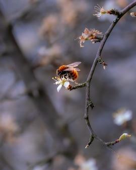 Zbliżenie strzał pszczoły miodnej na kwiat drzewa