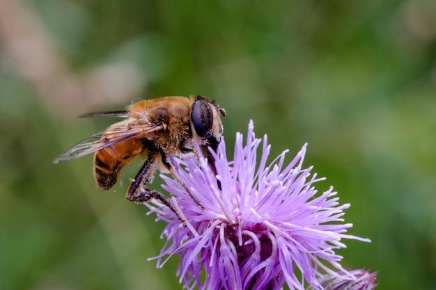 Zbliżenie strzał pszczoły na fioletowy kwiat