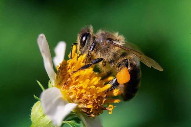 Zbliżenie strzał pszczoły na kwiat rumianku