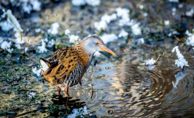 Zbliżenie strzał ptaka kolei wodnej