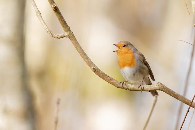 Zbliżenie strzał rudzika europejskiego stojącego na gałęzi drzewa
