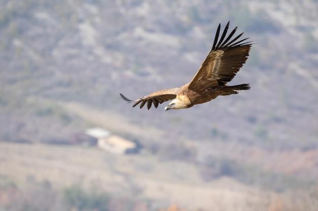 Zbliżenie strzał sępa płowego latającego na niebie