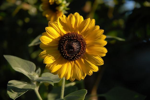 Zbliżenie strzał słonecznika w ogrodzie pod słonecznikiem